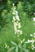 Seeds: White Sweet Clover  - 8 oz.