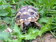 Baby dalmatian hermanns tortoise.
