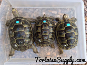 Ibera Greek Tortoise - 3 Years Old