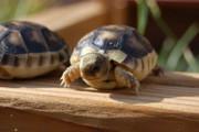 Baby Marginated Tortoise - B Grade