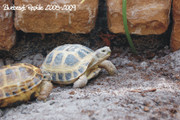 Male Russian Tortoise - 2 Pack with Free Shipping!