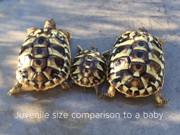 Juvenile Hermanns Tortoise