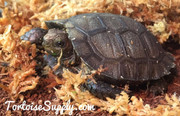 Baby Burmese Brown Mountain Tortoise