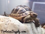 Juvenile (Middle Eastern) Greek Tortoise