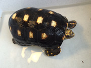 *Exact Tortoise* Male Redfoot Tortoise #1