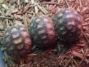 Big Baby Sulcata Tortoise - B Grade