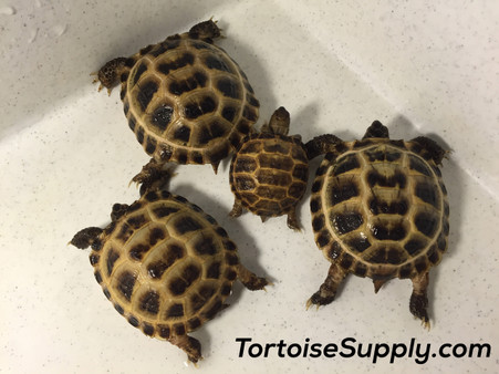 "Comparison of ""big babies"" with a newly hatched (1 month old) baby Russian tortoise."