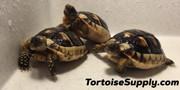Big Baby Marginated Tortoise
