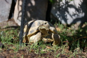Russian Tortoise - Captive Bred Young Adults