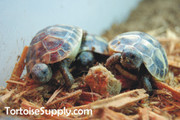 Baby Hermanns Tortoise (Eastern) Trio (Free Shipping and a Discount)