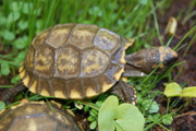 Baby Yellowfoot Tortoise