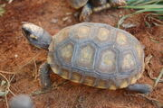 Juvenile Yellowfoot Tortoise