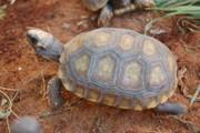 Juvenile Yellowfoot Tortoise
