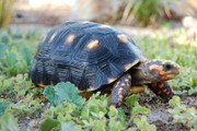 Redfoot Tortoise