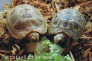 Baby elongated tortoises for sale.