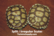 Split scutes on baby sulcata tortoises.