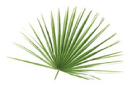 Fresh Palm for Palm Sunday, Mediterranean Fan Palm, Bag of 8