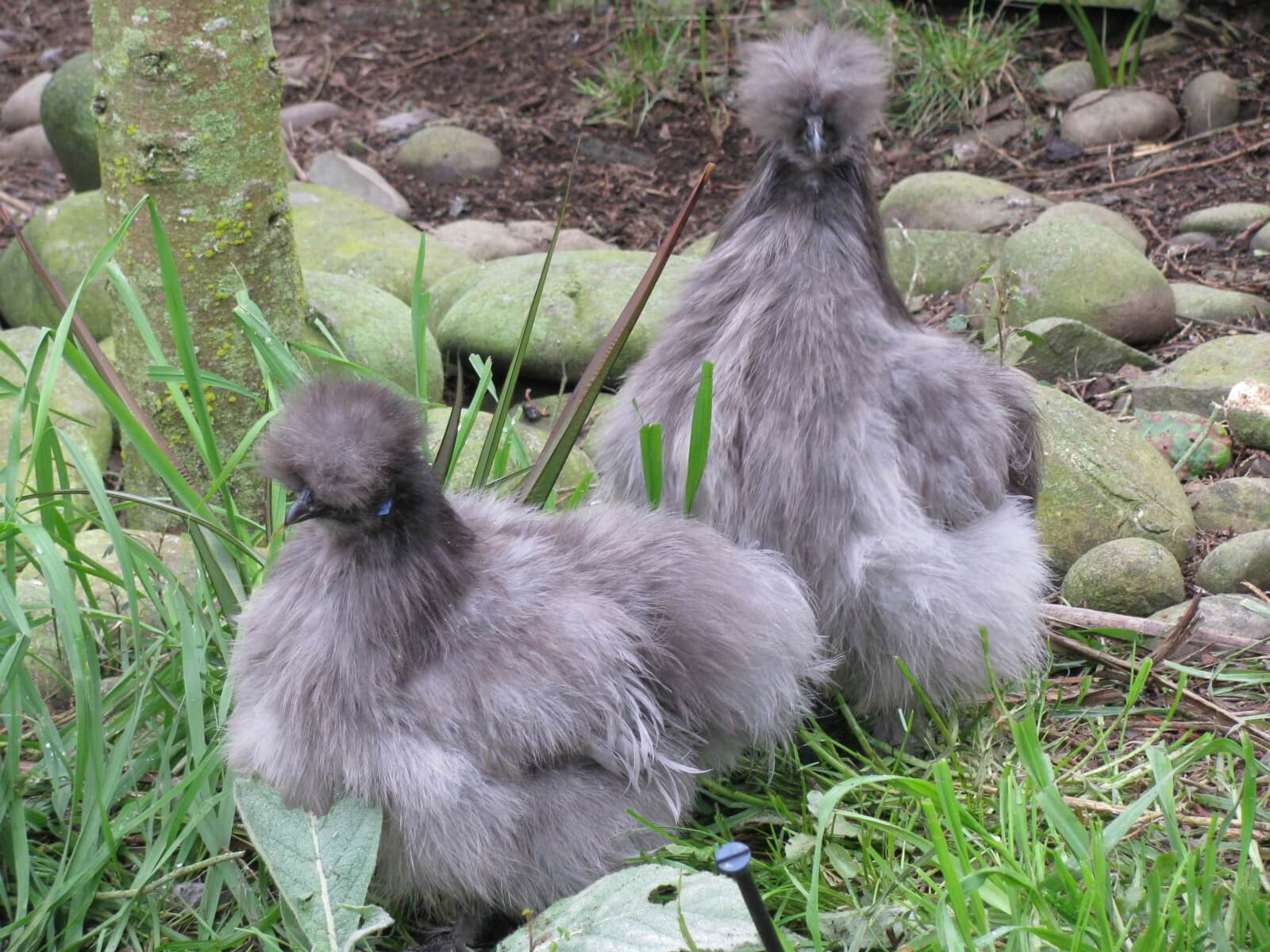 10.-chinese-silkies.jpg