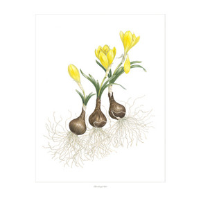 """Sternbergia lutea"" dances across the canvas from the closed bud to the first stage of maturity. Sternbergia lutea is listed among the flowers believed to be the ""lily of the field"" mentioned in the Bible."
