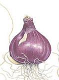 (Pack of 3) Treasured for its unmatched fragrance and delicate blue blooms, this bulb appears early Spring. Zones 6-9
