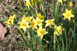 """(Pack of 5)  A true """"star"""" for the Southern gardener, this tough bulb offers a wonderfully light fragrance! Zones 7-10"""