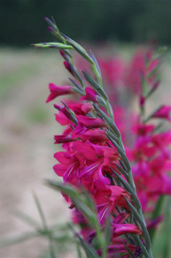 (Pack of 2)  Available October 2013! - The true Southern Glad with striking magenta, this rare treasure requires no staking and is an April blooming jewel! Zones 6-10