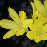 (Pack of 3)  A crocus-like fall bloomer for the South! Golden butter-cup like blooms in dormant summer gardens. Zones 7-9