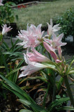 Not Available - (Pack of 1) This pink crinum puts on a show with its bell-shaped blooms and extra-lush foliage. This crinum has graced southern gardens since the late 19th century. Zones 7-10
