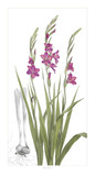"""""""Gladiolus byzantinus"""" is slender, elegant, and awe inspiring.  The classic gray background line drawing of the corm structure relates the viewer back to the first specimens collected along the southern coasts of Spain."""