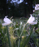(Pack of 1) Wonderfully clean foliage and vanilla scented blooms.