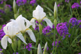 Available Now!  (Pack of 1) The cemetery white iris (Iris albicans) is aptly names because it can often be found blooming in cemeteries in late March to early April.