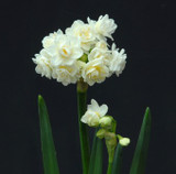 (Pack of 5) A double flowered tazetta packed with fragrance and long lasting cut flowers. Zones 6-9