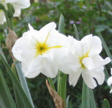 (Pack of 5) This creamy white and yellow-centered double daffodil is a treasure with 3-4 double, ruffled blooms atop multiple stalks per bulb. A sweet fragrance accents perennial blooms in zones 3-8. Also known as 'Double Narcissus' or 'Double Daffodil.'Zones 3-10