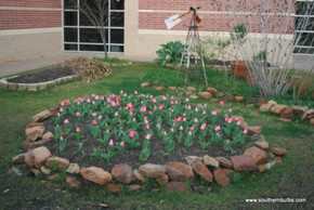"""(Pack of 5) PRE-CHIILLED AND READY TO PLANT. This dark pink-to-red mid-spring bloomer is sure to add """"pop!"""" to your garden. Makes a terrific border or stand-alone display. Provides a lovely, single- year bloom (not perennial for the South). Zones 3-9. This tulip requires 8-12 weeks of refrigeration."""