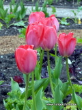 """(Pack of 10) This dark pink-to-red mid-spring bloomer is sure to add """"pop!"""" to your garden. Makes a terrific border or stand-alone display. Provides a lovely, single- year bloom (not perennial for the South). Zones 3-9. This tulip requires 8-12 weeks of refrigeration."""