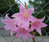 (Pack of 3) The Amaryllis belladonna is a lovely, drought-resistant Amaryllis. It sends up naked stalks topped off by 6-12 trumpet-shaped pink blooms in late summer through fall. The blooms emit a nice pink-sweet fragrance. ATTENTION: These bulbs only perform well in California! Do not try to grow them in any other state. Zones 7-10