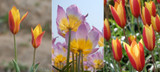 (5 Bags: 50 Bulbs) Tulip Bundle Deal:  More than any other group of tulips, the brightly colored species tulips are the best choice for Southern gardens. This bundle deal includes a variety of the following while stock lasts: Chrysantha, Lilac Wonder, Tubergen's Gem, Tinka, and/or Lady Jane. Zones 6-8