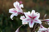 (Pack of 1 Small) Please allow an extra season before crinum blooms. An extremely tough, old fashioned heirloom crinum with the signature white and burgundy stripes that give it the old fashioned name 'Milk and Wine.'  Zones 7-10