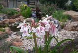 Crinum Milk & Wine Lily Small/Medium
