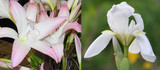 Available Now!  (6 Iris and 1 Clump of 4+ Small Crinum Bulbs) Blush colored crinum with rosettes of foliage. Wonderful drought tolerant white iris!