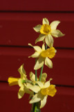 (Pack of 8) A heart warming early blooming daffodil that reliably signals spring every year. Zones 4-9