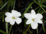 White form of the Z. labuffarosa rain lily.