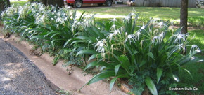 (Pack of 1) Large, clean foliage perfect for landscaping -- with a spidery summer bloom.  Zones 8-10