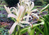 White Spider Lily (Lycoris albiflora)