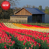 Wooden Shoe Tulip Farm - Cut Flowers