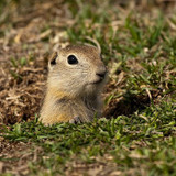 Dallas Gopher Removal