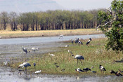 Jabiru, Brolga, Magpie Geese and Whistling Ducks at Parry s Lagoon near Kununarr W.A. - Product Code 38002 - Photographer David Blanch