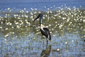 Jabiru at Learning Tree Lagoon, N.T. - Product Code 38004 - Photographer David Blanch