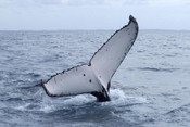 Humpback Whale, Fraser Island Qld. - Product Code 38005 - Photographer David Blanch