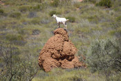 A wild goat on a termite mound near Exmouth W.A. - Product Code 38006 - Photographer David Blanch